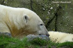#polarbear