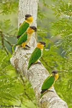 don't call me betty — pagewoman: ♥ Black-headed Caique - Pionites...