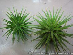 aire plants | Watering Tillandsia  google search