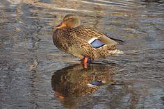 Mallard ©Steve Frye. Wild Bird Company - Boulder, CO, Saturday Morning Bird Walk in Boulder County - December 26, 2015.