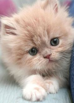 Cute Kittens On Video 100 Cute Facts About Cats And Kittens Fluffy Kittens, Kittens And Puppies, Little Kittens, Fluffy Cat, Cute Cats And Kittens, Cool Cats, Kittens Cutest, Kittens Meowing, Kittens Playing