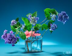 Sogetsu and Akane Teshigahara - Charmed by the exquisite bluish and purplish color tone, the hydrangea is arranged in the transparent glass vase to emphasize its freshness. The translucent texture of caladium leaf is an accent.