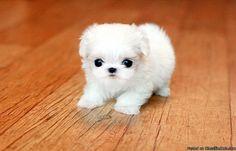 its like the cutest little fur ball. Teacup Maltese, Cutest Dogs, Pomeranian, Cuddle, Cute Animals, Fur, Gray, Friends, Pretty Animals