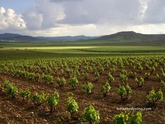 picture of a vineyard in Spain