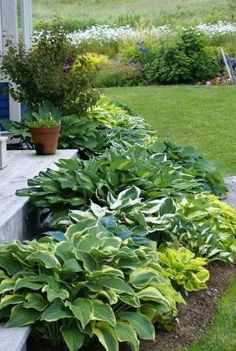 varieties of hostas - Google Search by elsie