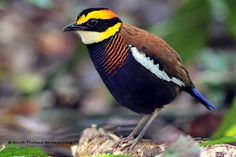 """Malayan Banded Pitta Hydrornis irena """"A little wrestler in its Sunday best"""""""