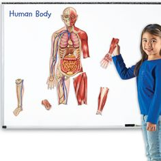 Make learning about the body fun with a huge magnetic human body! Twice the life-science learning, this Double-Sided Magnetic Human Body has a skeletal system on one side and major organs and muscle groups on the other. The Human Body, Human Body Model, Human Body Science, Online Nursing Schools, Cell Model, Anatomy Models, Human Body Anatomy, Life Science, Science Curriculum