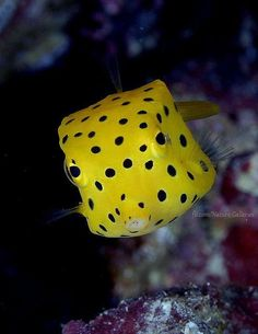 Ostraciidae, box fish