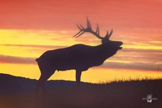 Sunset on the Bugling Elk! by PineCreekArtist on Etsy