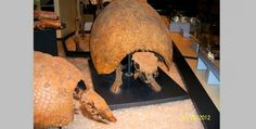 Glyptodon - Heavily Armored Mammal of the Fossil Record