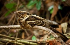 """Large-tailed nightjars are known in Malaysia to frequent cemeteries at night and are called """"burung tukang kubur"""" (""""graveyard nightjar""""). They have an extensive distribution…"""