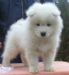 *White and Fluffy Samoyed Pup