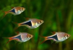 Rasboras Fish | Rasboras: The Spartacus fish Harlequin Rasporas, when I kept these, in the 80's