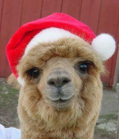 Alpaca's love Santa.