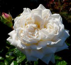 WHITE GOLD (Cocquiriam) Floribunda Rose. 1998.
