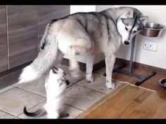 Kitten harasses world's most tolerant husky   MNN - Mother Nature Network