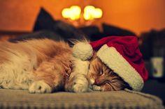 Christmas cat  For more Christmas cats, visit http://Facebook.com/funholidaycats
