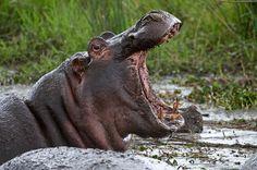 Hippo—photo credit: Billy Dodson