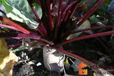 Jak pěstovat červenou řepu ze semen. Beta vulgaris Gladioli, Aloe Vera, Pesto, Plants, Plant, Planets
