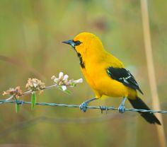 Foto joão-pinto-amarelo (Icterus nigrogularis) por Ricardo Gentil