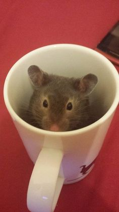 Hamster in a coffee cup