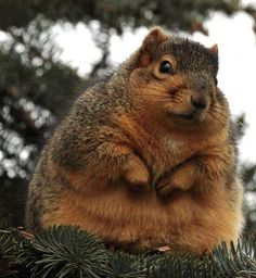 Fattest squirrel I've ever seen