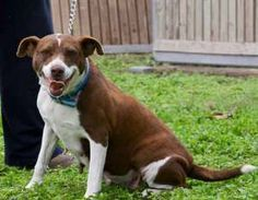 Dolly is an adoptable Pointer Dog in Penitas, TX. Dolly is a sweet little lady who loves to be with you. She will accept all of the attention you wish to bestow upon her. She was born in 2008 and weig...
