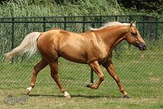 Why do ppl like this crap he is falling of the for hand and he looks bad! U should watch warm bloods do dressage