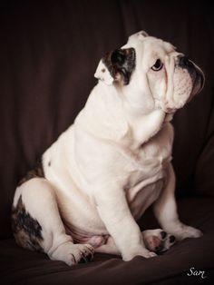Sam Bulldog bulldog bulldog