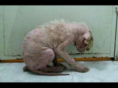 Amazing recovery of dog tied to a tree and starved for five years. MUST SEE THE END! - YouTube