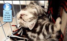 Kitten is Sleeping Awkward, but so Sweet. Cutest #Video  http://www.catvideooftheweek.com/videos/view/2783  #cvotw