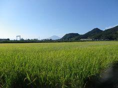 2013年10月1日 青空の下の実り  収穫も間近・・