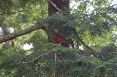 Northern Cardinal, Maine