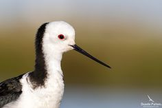pied stilt - Google Search