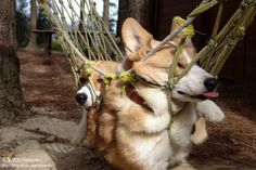 "Best buzzfeed ever: ""Things That Make Corgis Happy"", like this one... hammocks."