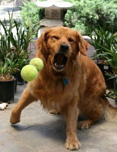 Watch me  I can catch two balls at once #Golden #Retriever