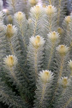 Phylica pubescens by anniesannuals, via Flickr