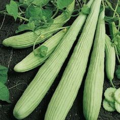 """MY FAV CUCUMBER!! ARMENIAN  Cucumber Seeds A.K.A. the """"Yard Long Cucumber."""" The long, pale, ribbed fruits are crisp, juicy, and sweet. They are attheir very best when picked at about 1 foot long. Train on a trellis to keep fruit straighter, and harvesting easier. Will never need peeling."""