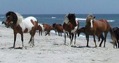 Assateague & Chincoteague, VA - I've wanted to visit these places ever since I read Marguerite Henry's books as a child! :)