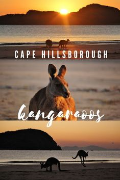 Kangaroos at Dawn - Cape Hillsborough - This Wild Life of Mine Wildlife Tourism, Blue Wings, Big Country, Coast Australia, Kangaroos, Destin Beach, Wild Life, East Coast, Dawn
