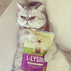 Lysine treats for boogery eyes. Does it work for you? (We just started testing. Inconclusive)  #exoticshorthair #cat #cute #flatface #meow #mreggs #catlover  #exoticsofinstagram #smushface