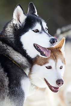 I'm convinced that Siberian huskies are one of the most beautiful breeds of dogs ♥