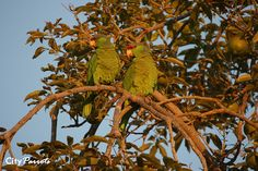 Red-crowned Amazon parrot (Amazona viridigenalis) & Lilac-crowned Amazon (Amazona finschi) by City Parrots, via Flickr