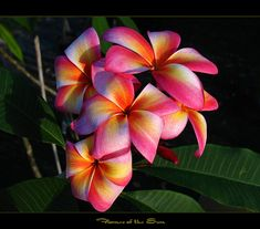 Rare Flowers - Plumeria Flames of the Sun | Flickr - Photo Sharing!  Or these ones!