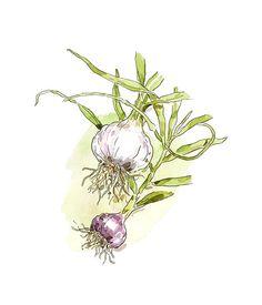 How to grow garlic :: Gourmet Traveller