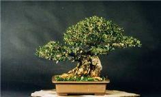 Kintall: Galeria Olea Europaea - 2º Capitulo