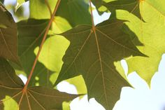 leafs, maple Pictures Images, Plant Leaves, Nature, Flowers, Plants, Finland, Naturaleza, Plant, Nature Illustration