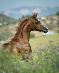 Amazing Arabian filly with classic beauty