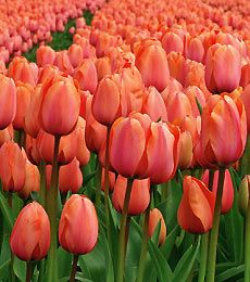 Really want to get some apricot coloured bulbs to spruce up my spring beds! These are called Tulip Apricot Impression!