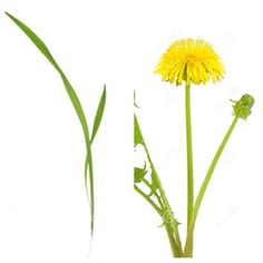 Blade of grass and dandelion. OTP that one particular blade of grass in my front lawn fandom